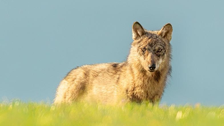 Wolf vor blauem Himmel auf einer Wiese