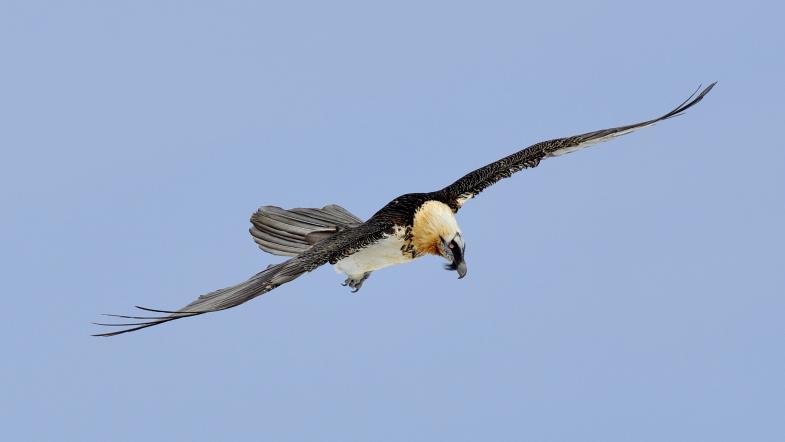 Fliegender Bartgeier segelt durch die Lüfte
