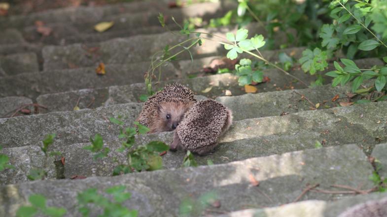 Ein erwachsener Igel und ein Jungtier stehen auf einer Steintreppe