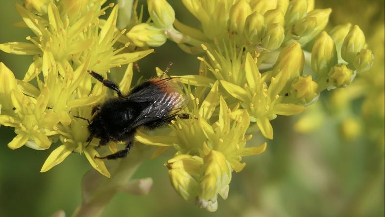Wildbiene auf gelben Blüten