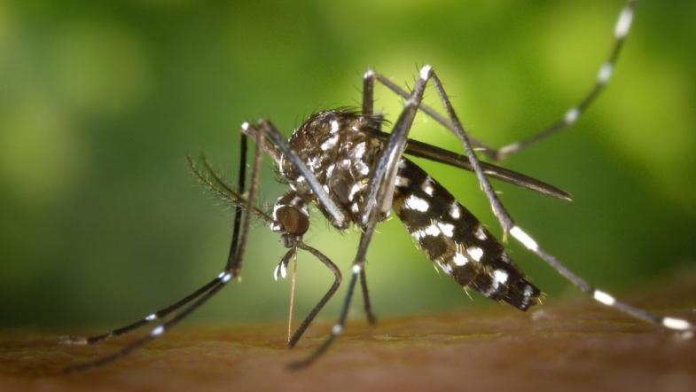 Gros plan d'un moustique tigre