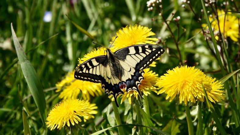 Schwalbenschwanzschmetterling sitzt auf einer leuchtend gelben Löwenzahnblüte