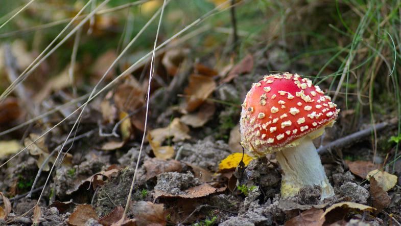 Amanite tue-mouche, un champignon rouge à points blancs
