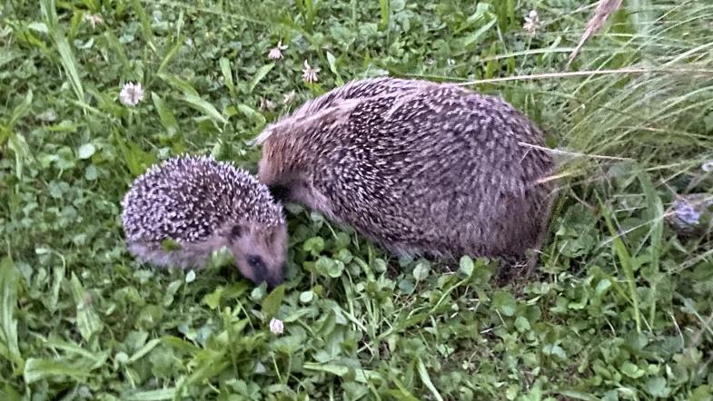 Femelle hérisson avec son petit