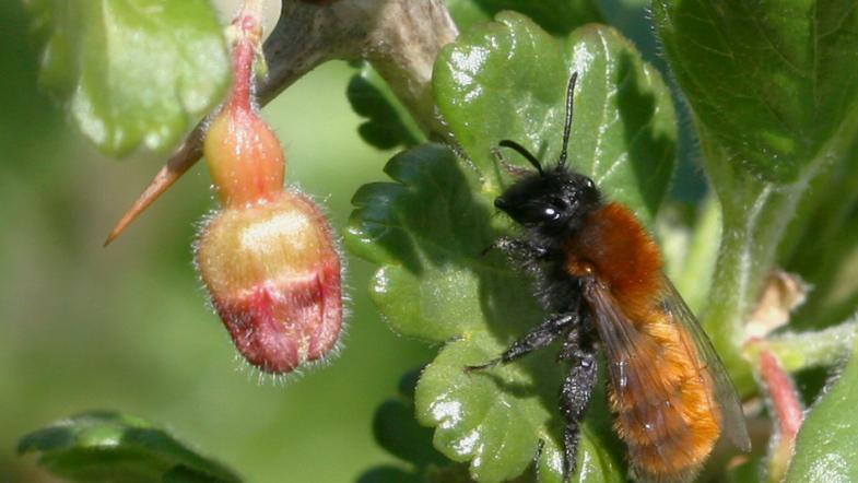 Rotpelzige Sandbiene Weibchen auf einem Stachelbeerenblatt am ausruhen