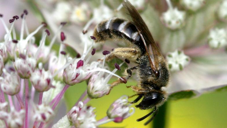 Gemeine Furchenbiene auf Lauchblüte