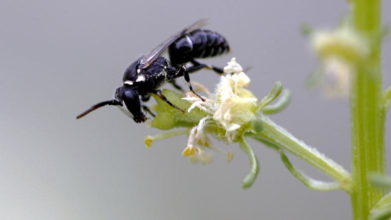 Reseda-Maskenbiene auf weisse Resede-Blüte