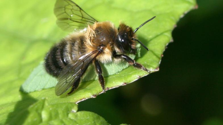 Blattschneiderbiene beim Blätter mit ihre Mundwerkzeuge auschneiden um ihre Nester auszustatten