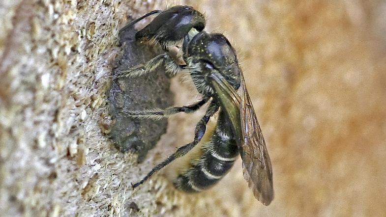 Hahnenfuss-Scherenbiene beim Nest im Totholz mit Lehm und Sand verschliessen