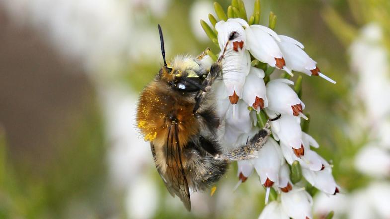 Gemein Pelzbiene auf einer weissblütige Heidepflanze
