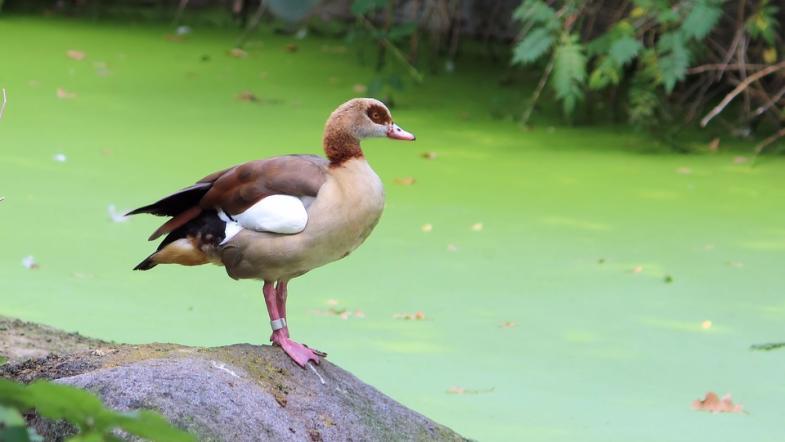 Nilgans vor einem vegetationsreichen Teich
