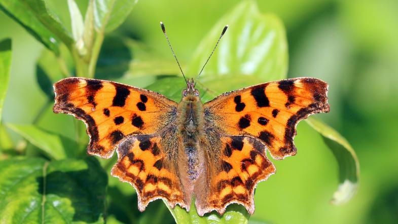 C-Falter mit dem charakteristischen eingeschnittenen Flügel