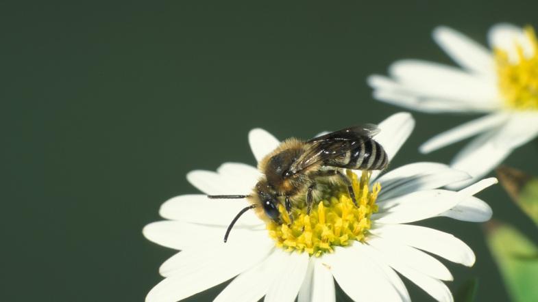 Die Gemeine Seidenbiene auf weiss-gelbe Kamilleblüte