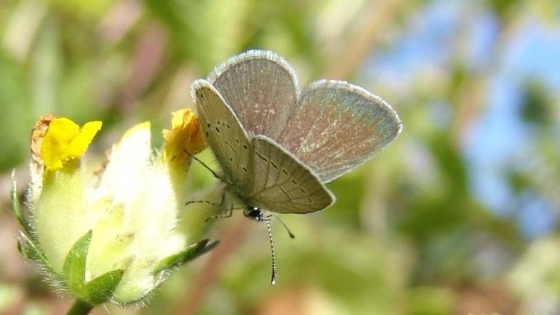 Zwergbläuling mit gräuliche Farbmuster und ein Hauch von Blau am Rand des Flügels auf Wundklee