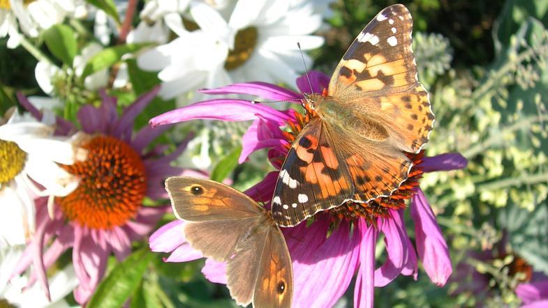 Distelfalter und Ochsenage teilen sich eine Blüte