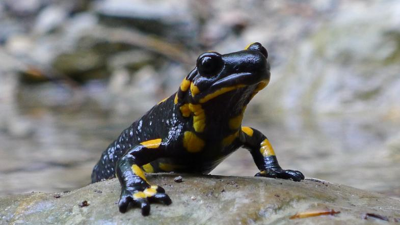 Une salamandre tachetée se tient sur une pierre
