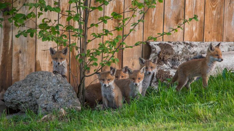 Fuchswelpen turnen auf Steinen vor ihrem Bau herum