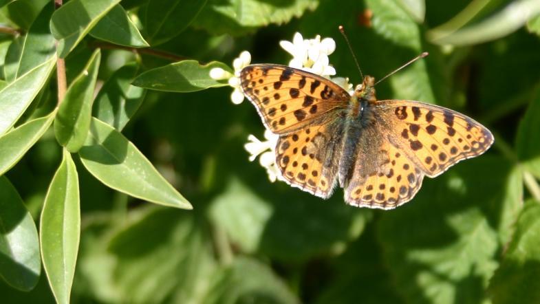 Kleiner Perlmutterfalter mit braunen Punkten auf der Flügeloberseite