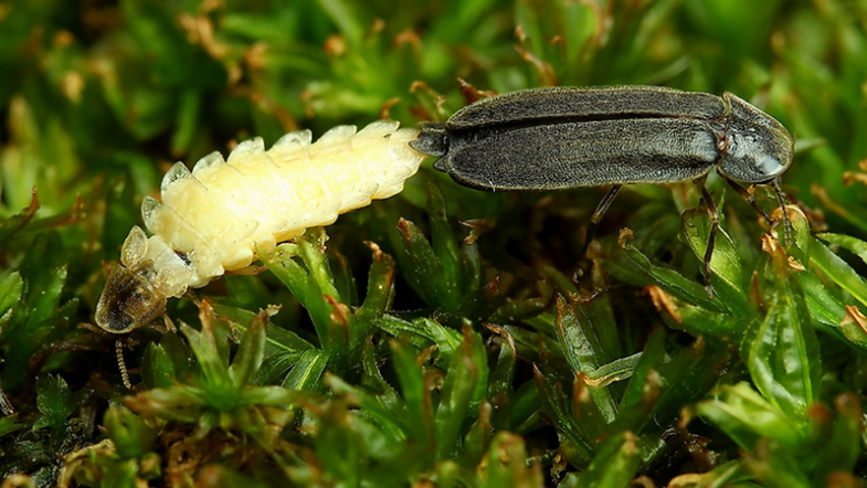Männchen und Weibchen des Kleinen Glühwürmchens