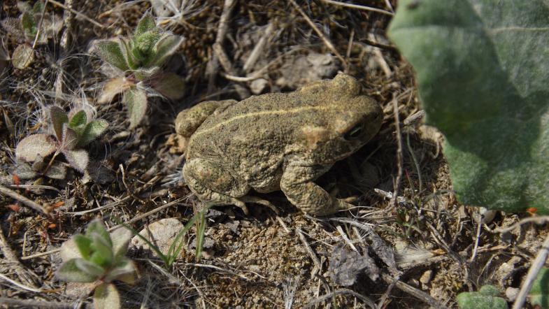 Kreuzkröte auf dem Boden