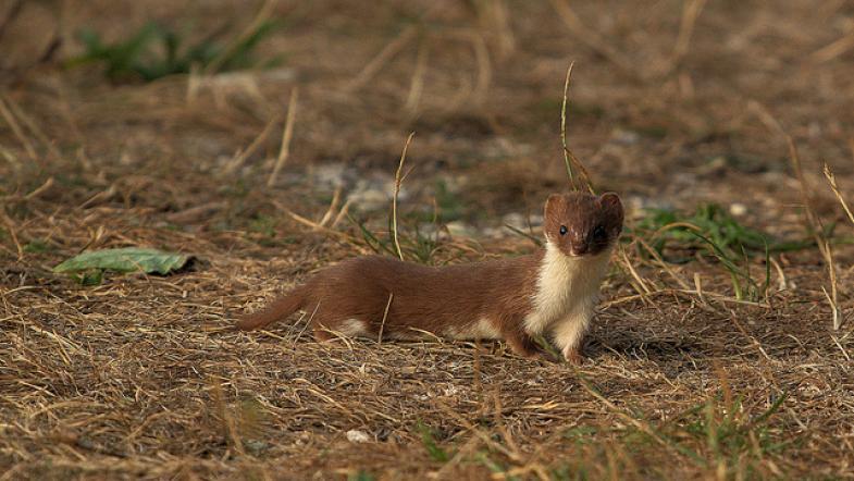 Mauswiesel auf einer Wiese
