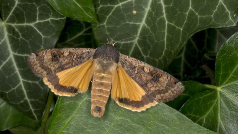 Hausmutter braun-orange gefärbte Flügel sitztend auf Efeu