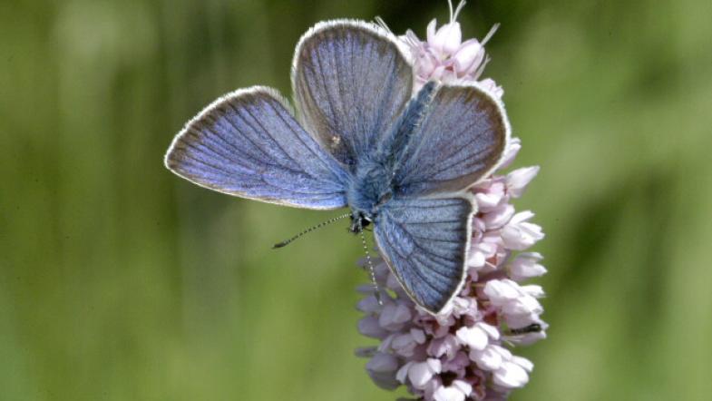 Blauschimmerende Männchen des Violetter Waldbläuling auf weisser Blüte