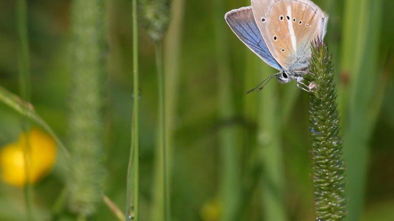 Grünblauer Bläuling auf Grasshalm mit auffäligen weissem Strich auf Flügelunterseite