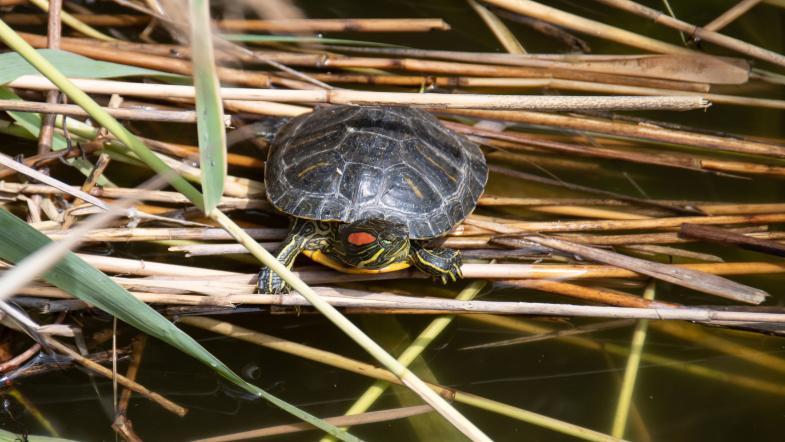 Rotwangen-Schmuckschildkröte sitzt auf Schilf