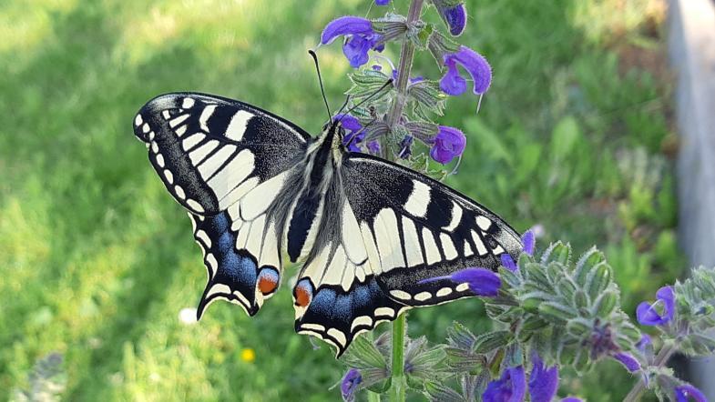 Schwalbenschwanz-Schmetterling auf einer Blüte