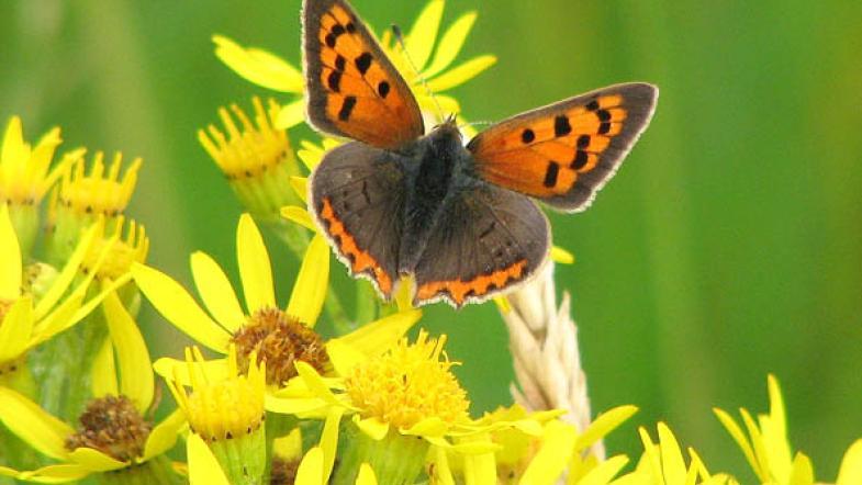 Der Kleiner Feuerfalter mit orange und brauner Flüglemuster auf einer gelben Blüte