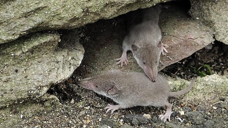 Zwei Hausspitzmäuse vor einer Steinmauer