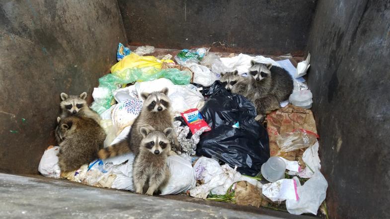 Mehrere Waschbären schauen aus einer Mülltonne