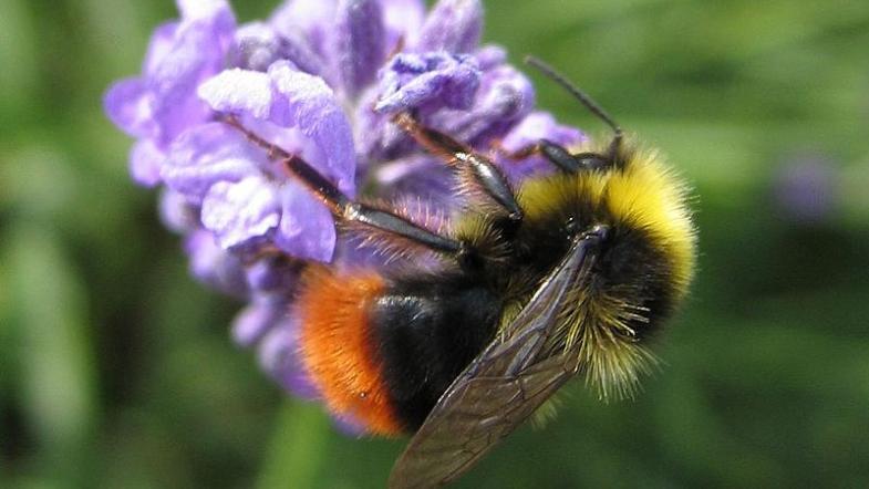 Die Wiesenhummel auf violetter Blüte