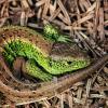 Zauneidechse mit grüner Färbung an den Flanken