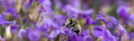 Wildbiene auf Blumen