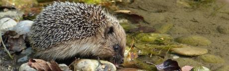 Jungigel trinkt an einem Teich