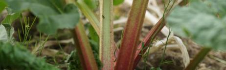 Rhabarberpflanze im Gartenbeet