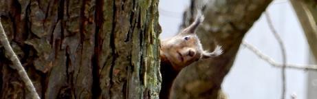 Eichhörnchen schaut hinter dem Baum hervor