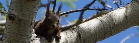 Eichhörnchen auf Astgabel