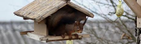 Ein Eichhörnchen in einem Vogelfutterhaus