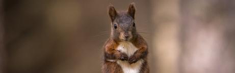 Eichhörnchen im Sitzen