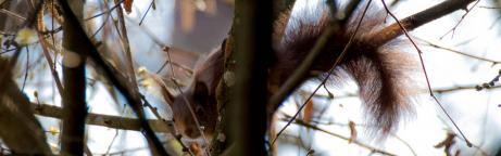 Ein Eichhörnchen schaut durch die Äste in die Kamera