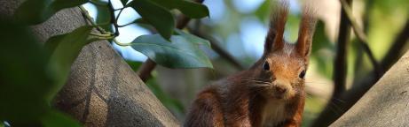 Un écureuil roux perché sur une branche d'arbre
