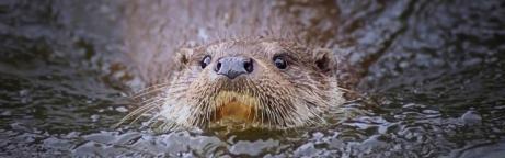 Portrait d'une loutre nageant dans l'eau
