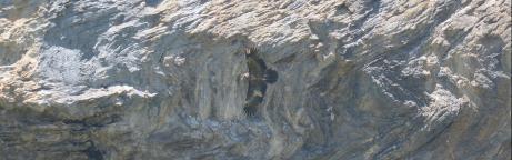 Der junge Bartgeier Fortunat bei seinem ersten Flug vor einer Felswand