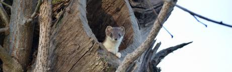 Hermelin schaut aus ausgehöhltem Baumstamm