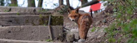 Fuchs in einem Park
