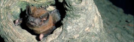 Grosser Abendsegler am Eingang der Baumhöhle