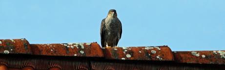 Habicht sitzt auf einem Dach